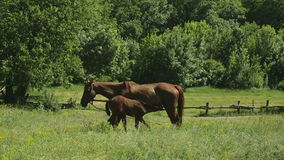 Horse grazing in a meadow. Horses family on a green meadow stock footage
