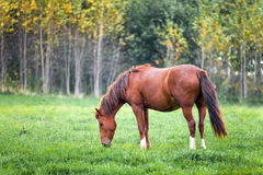 Horse grazing in a meadow near a forest Royalty Free Stock Images