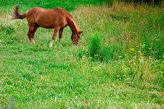 Horse grazing in the meadow Stock Photography