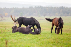 Horse grazing in a meadow in a rainy day Royalty Free Stock Photo