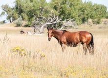Horse Grazing in Meadow in Rural America Stock Photos