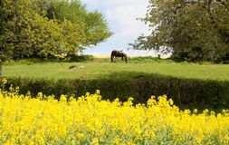A horse grazing on a meadow surrounded by trees and blooming rapeseed fields in France royalty free stock photography