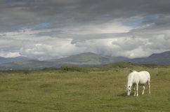 Horse grazing in a meadow in UK. Early morning, summer Stock Images