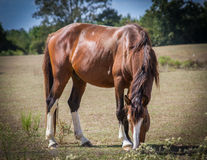 Horse Grazing in Mississippi Royalty Free Stock Image