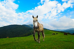 Horse grazing on mountain meadow Stock Images