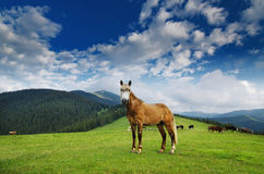 Horse grazing on mountain meadow Royalty Free Stock Images