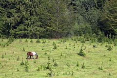 Horse grazing on a mountain near the forest Royalty Free Stock Photos