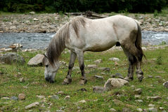Horse grazing on a mountain pasture Royalty Free Stock Image