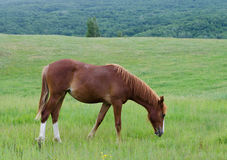 Horse grazing on a mountain pasture Stock Photo