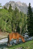 Horse grazing in the mountains. A wild horse grazing beside a river that flows down a mountain royalty free stock images