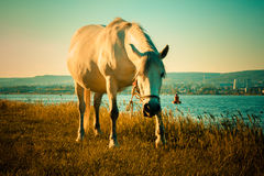 Horse grazing next to the lake. Horse is eating grass next to the lake - HD video. See my portfolio for more options Royalty Free Stock Images