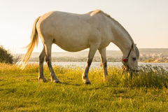 Horse grazing next to the lake. Horse is eating grass next to the lake - HD video. See my portfolio for more options Royalty Free Stock Image