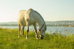 Horse grazing next to the lake. Horse is eating grass next to the lake - HD video. See my portfolio for more options Stock Image