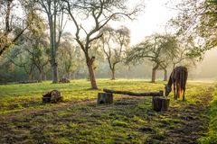 Horse grazing in a orchard. That serves for equitation training royalty free stock photos