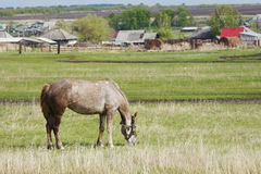 Horse grazing on outskirts of a village Stock Photo