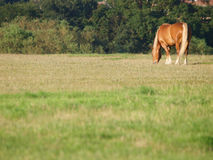 Horse Grazing In Paddock Royalty Free Stock Photos