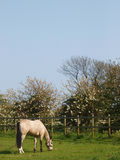 Horse Grazing In A Paddock Royalty Free Stock Images