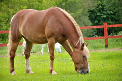 The horse is grazing Royalty Free Stock Photos