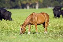 Horse grazing in a pasture. A horse grazing on grass in a pasture Royalty Free Stock Images