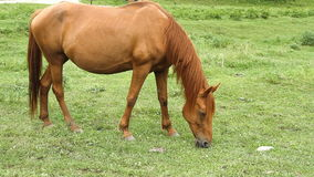 Horse grazing on pasture and eating grass stock video footage