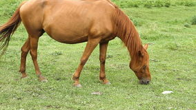 Horse grazing on pasture and eating grass stock footage