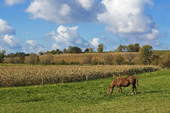 Horse grazing in pasture Stock Photography