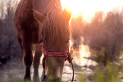 Horse grazing on pasture Royalty Free Stock Photos