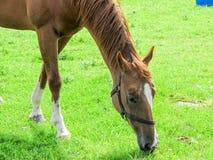 Horse Grazing Royalty Free Stock Photo
