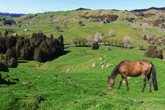 Horse grazing on picturesque farmland. North Island, New zealand Royalty Free Stock Photos