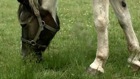 Horse grazing in Poland stock video