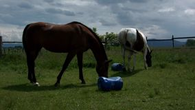 Horse grazing in Poland stock video footage