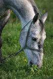 Horse grazing. Portrait of a dappled gray horse grazing in a field Stock Photos
