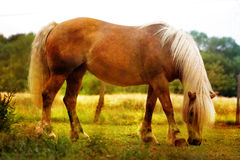 Horse grazing in a prairie Royalty Free Stock Image