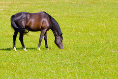 Horse grazing in a prairie royalty free stock photography
