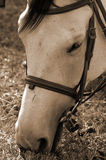Horse grazing in sepia Royalty Free Stock Photo