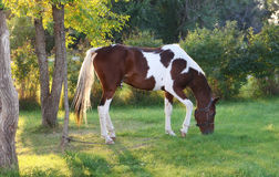 Horse Grazing in Setting Sun. National Show Horse Horse Graze in setting sunlight stock photos