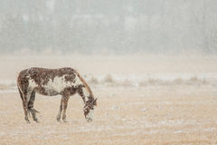 Horse Grazing in Snowy Pasture Royalty Free Stock Photos
