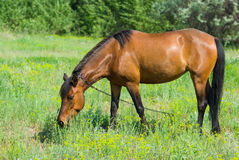 Horse grazing on a spring pasture Stock Photo