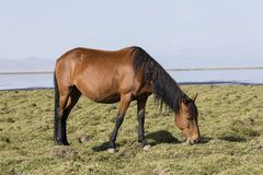 A horse is grazing in the steppe at Song Kul Lake. In Kyrgyzstan Royalty Free Stock Photos