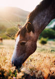 Horse grazing in summer field Royalty Free Stock Photos