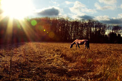 Horse Grazing at Sunset. Landscape shot of a horse grazing at sunset Stock Photos
