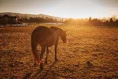 Horse grazing at sunset. Beautiful horse grazing at sunset with sunlight and farm on background Royalty Free Stock Photo