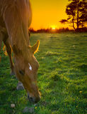Horse grazing at sunset. A horse grazing in a field at sunset Royalty Free Stock Images
