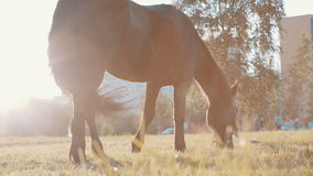 Horse grazing at sunset. In the park stock footage