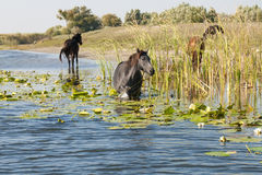 Horse grazing waterlilies Stock Image