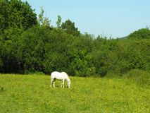 Horse Grazing. Stock Photo