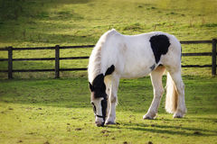 Horse grazing Stock Image