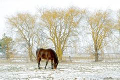 Horse Grazing in Winter. A reddish-brown horse grazes in the snow against a background of weeping willow trees Royalty Free Stock Image