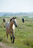 Horse grazing Royalty Free Stock Photo