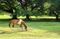 A horse in green farm Stock Photography